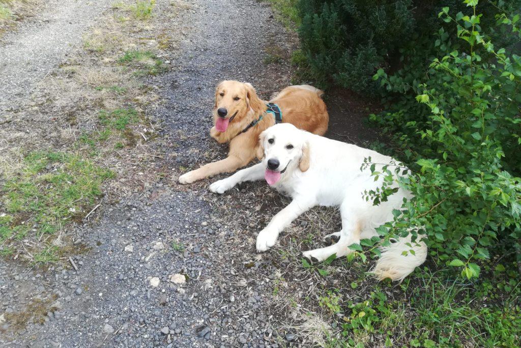 Première rencontre entre Oz et Noisette, chiens de l'équipe de CréA